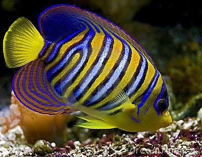 Jenis Ikan Hias Air Laut Dan Gambarnya 44 Ragam Ikan Hias Air Laut Yang Mudah Dipelihara Ikan Hias Air Tawar