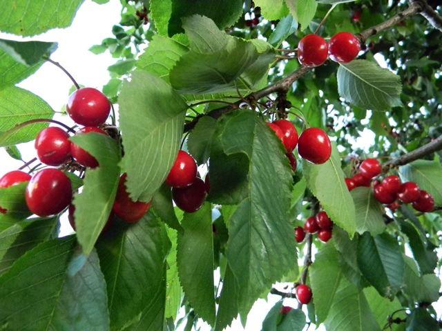 liście, owoce, sad, słodkie owoce