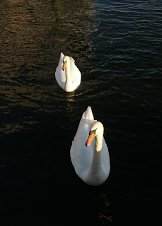Pair of swans in the late afternoon sunlight, Barnegat Bay, Bay Head, New Jersey