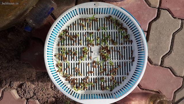 ปลูกผักบุ้งจีนวันที่ 5