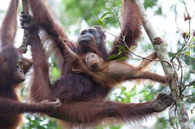 'Cocktail' orangutans leave researchers shaken and stirred