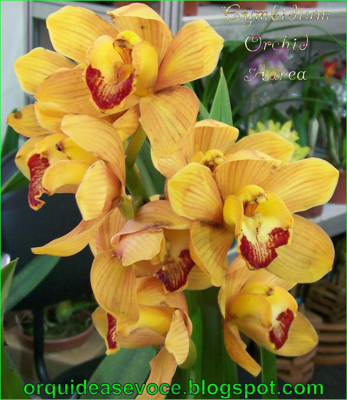 Cymbidium Orchid Aurea