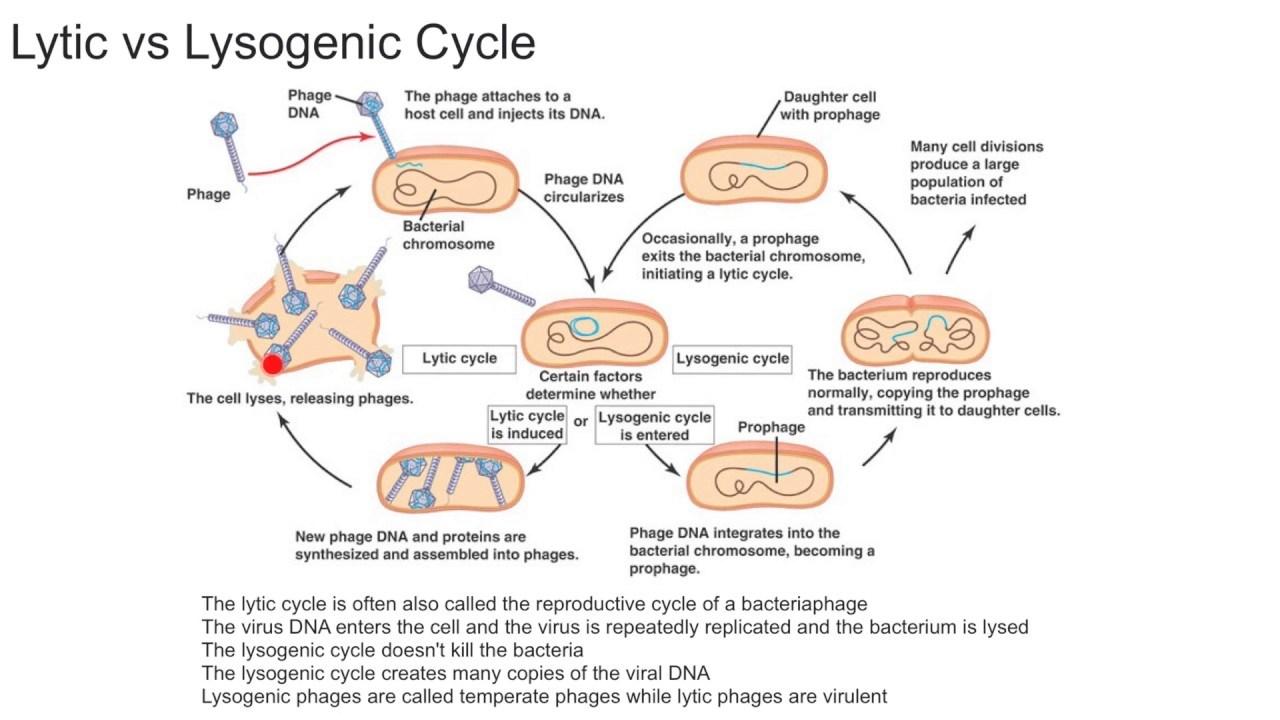 viru lytic cycle diagram [ 1280 x 720 Pixel ]