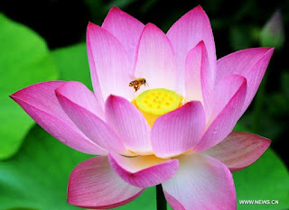 Lotus Flower Beautifull