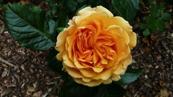 وردة جميلة وسط اوراق زابلة