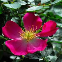 http://www.danielschmitz-roses.com/elegante-danseuse
