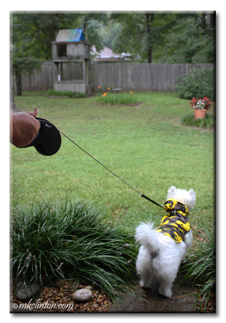 Pierre Westie uses his Flexi Leash to go outside