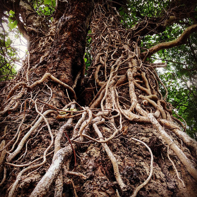 Dublin Days Out: gnarled tree in Merrion Square Park