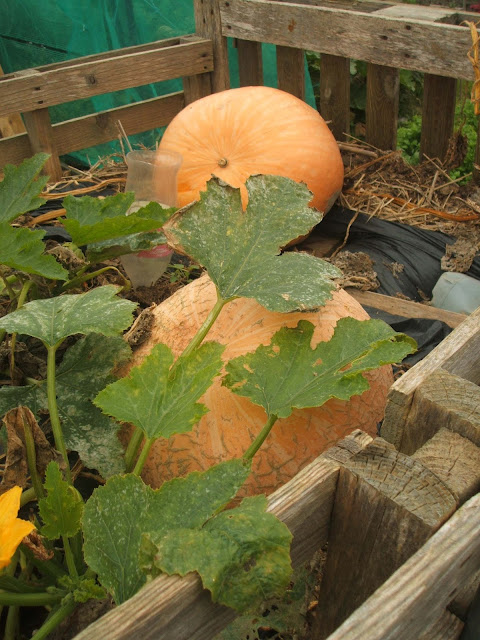 growing pumpkins in compost heap at allotment