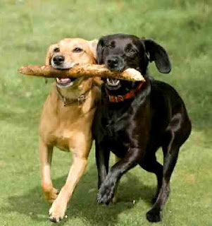 Dogs fight over stick