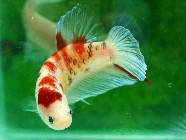 Android Mobile I Phone Fish HD Wallpapers