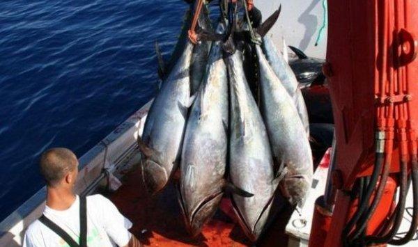 صور سمك التونة الحمراء