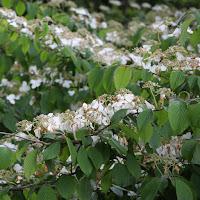 http://www.thenurseries.com/viburnum-opulus-geulder-rose-hedging-p-3028.html