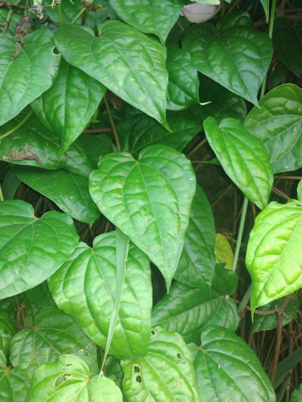 Daun Mengkudu Buat Lovebird : mengkudu, lovebird, Manfaat, Sirih, Untuk, Burung, Berkicau, Kicau, Sejati