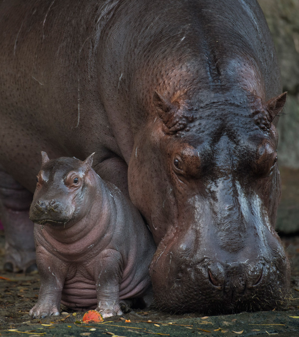 Baby Hippo Augustus, no Animal Kingdom, Orlando