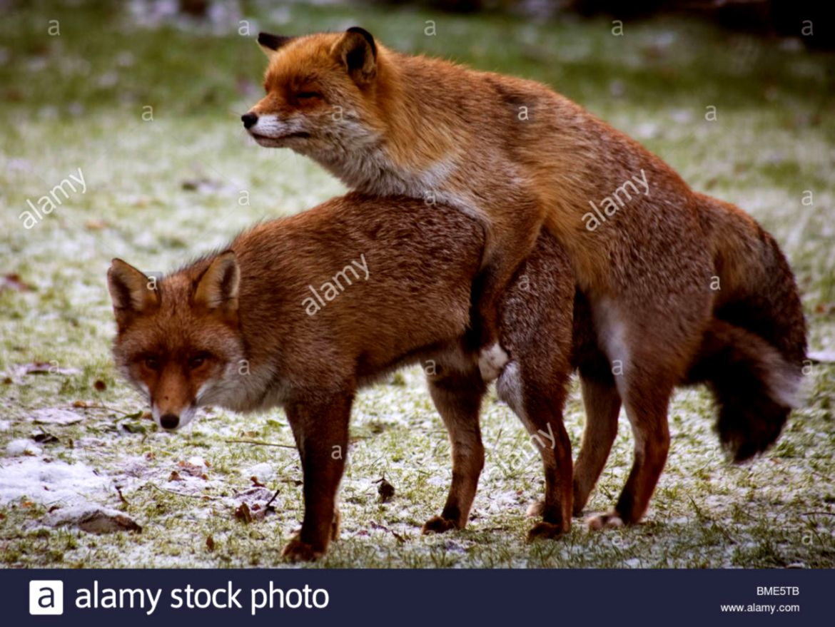 MATING FOXES KENT GARDEN UNITED KINGDOM WILDLIFE WILD ANIMALS FOX