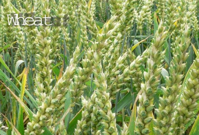 Wheat Farming/Processing on Business Plans and Feasibility Study Report