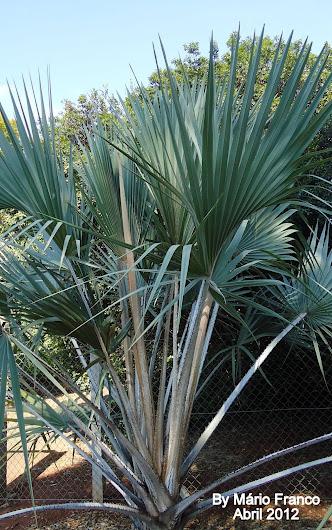 LALA PALM - ( Hyphaene coriacea )