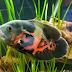 Ikan Oscar, Jenis, Harga Dan Cara Merawatnya