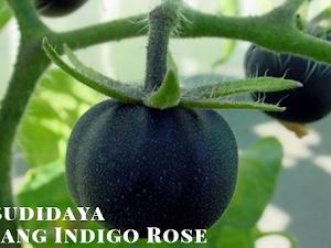 Simak!! Budidaya Tanaman Unik 'Indigo Rose'