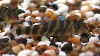 gambar bengal loach (botia dario)