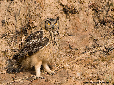 Wildlife Photography Indian Eagleowl