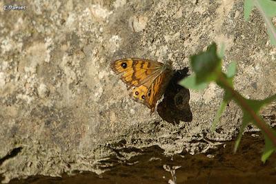 Margenera comuna (Lasiommata megera)