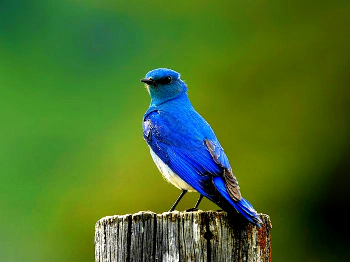 robin wild birds pictures