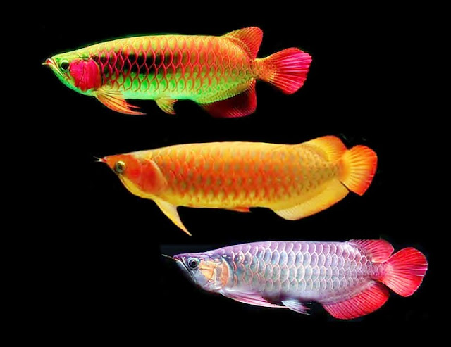 Dunia Ikan Hias - Ikan Air Tawar Arwana