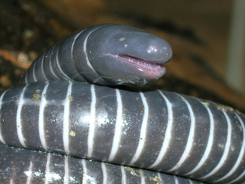 Giant Australian Earthworm Echoes from the Geekca...