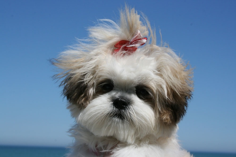maltese and shih tzu mix ren 233 e finberg tells all in her blog of her adventures 8883