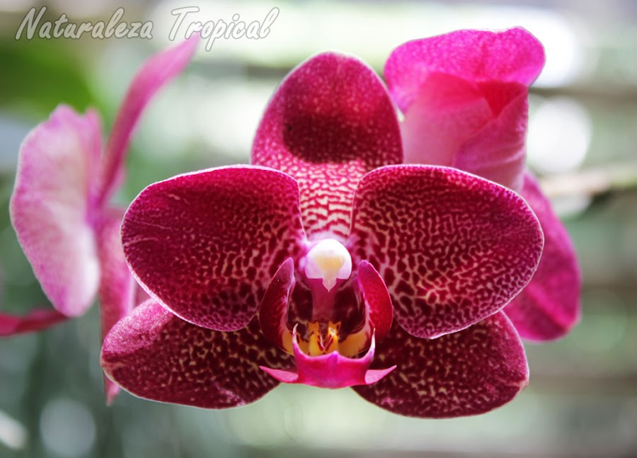 Orquídea Mariposa, género Phalaenopsis