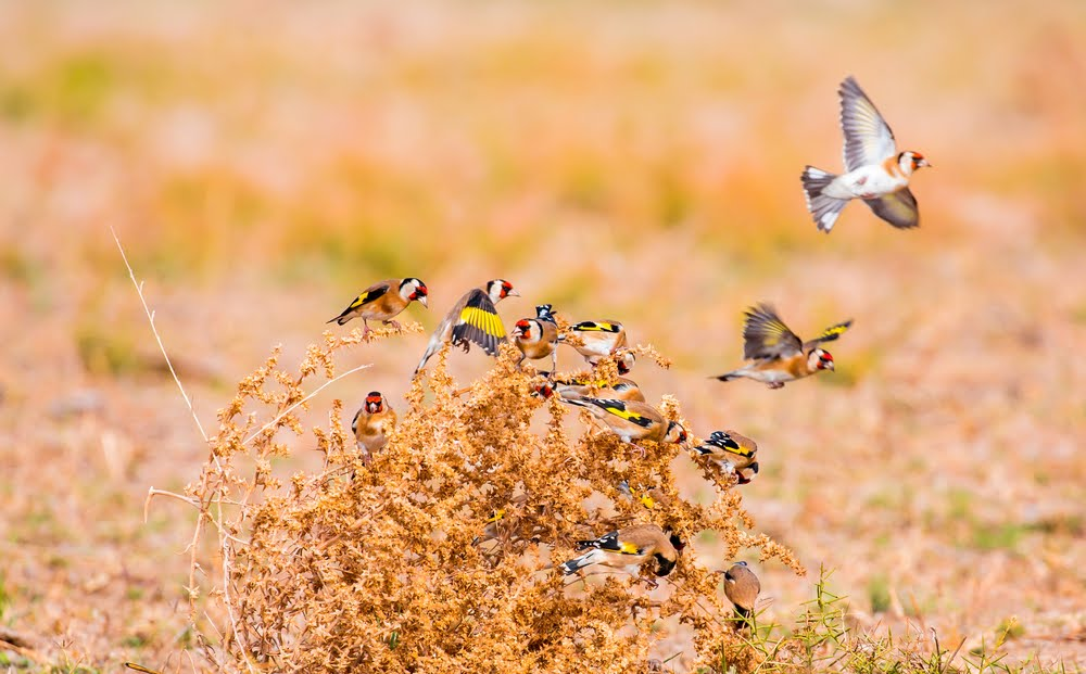 Breeding the Goldfinch in a true and healthy way