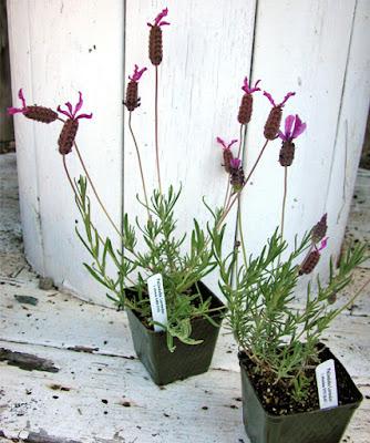 spanish stoechas lavender plants