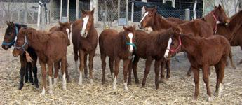 Foto de caballos marrones representante del ganado equino