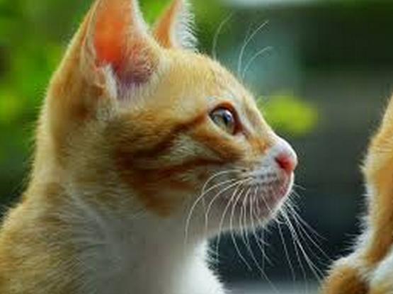Contoh Descriptive Text About Cat Kucing Terbaru Dan Artinya