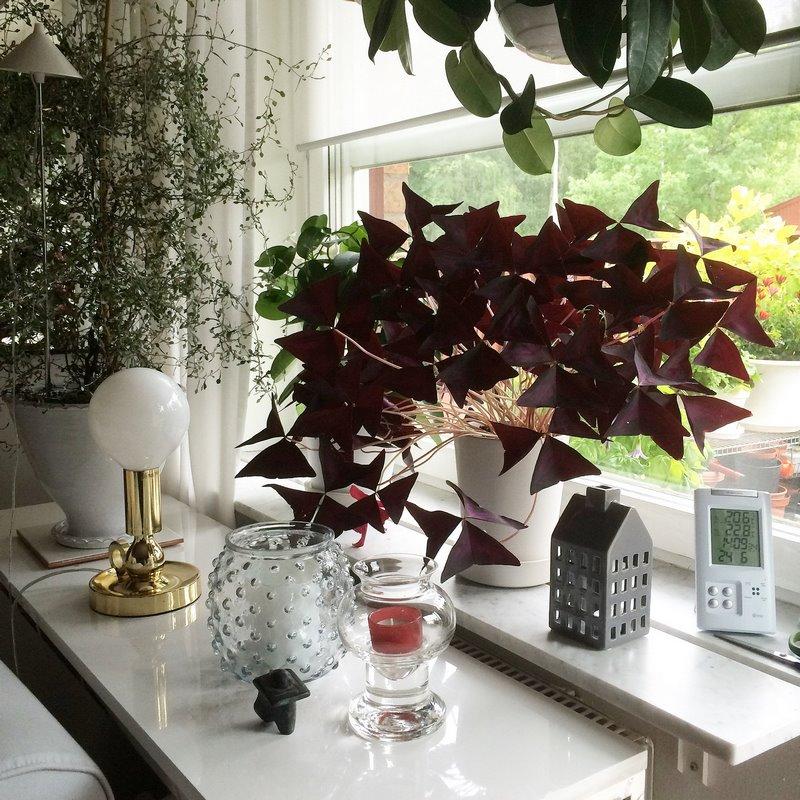 Hojas púrpura de Oxalis triangularis junto a una ventana