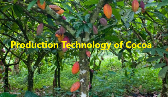 How to Grow Cocoa tree