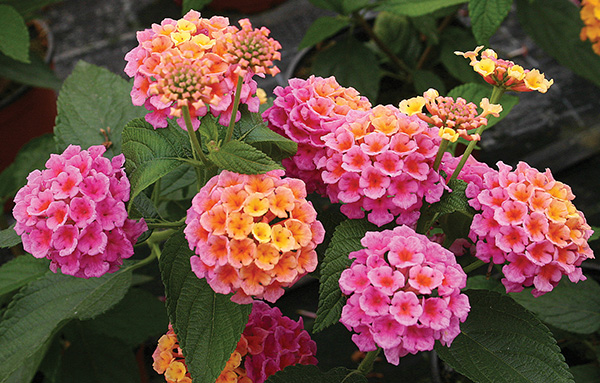 High altitude gardening lovely lantana lovely lantana mightylinksfo