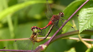 "Dragonflies in the ""mating wheel"""
