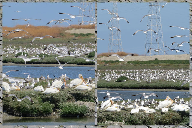 Birding in Palo Alto California - Seabird Frenzy plus pelicans