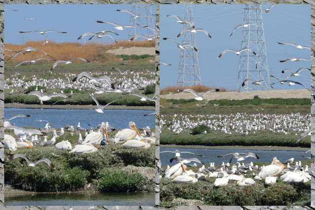 Birding in Palo Alto California - Seabird Frenzy plus pelicans