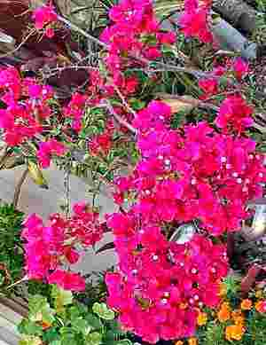 Picture of Bougainvillea growing in a pot