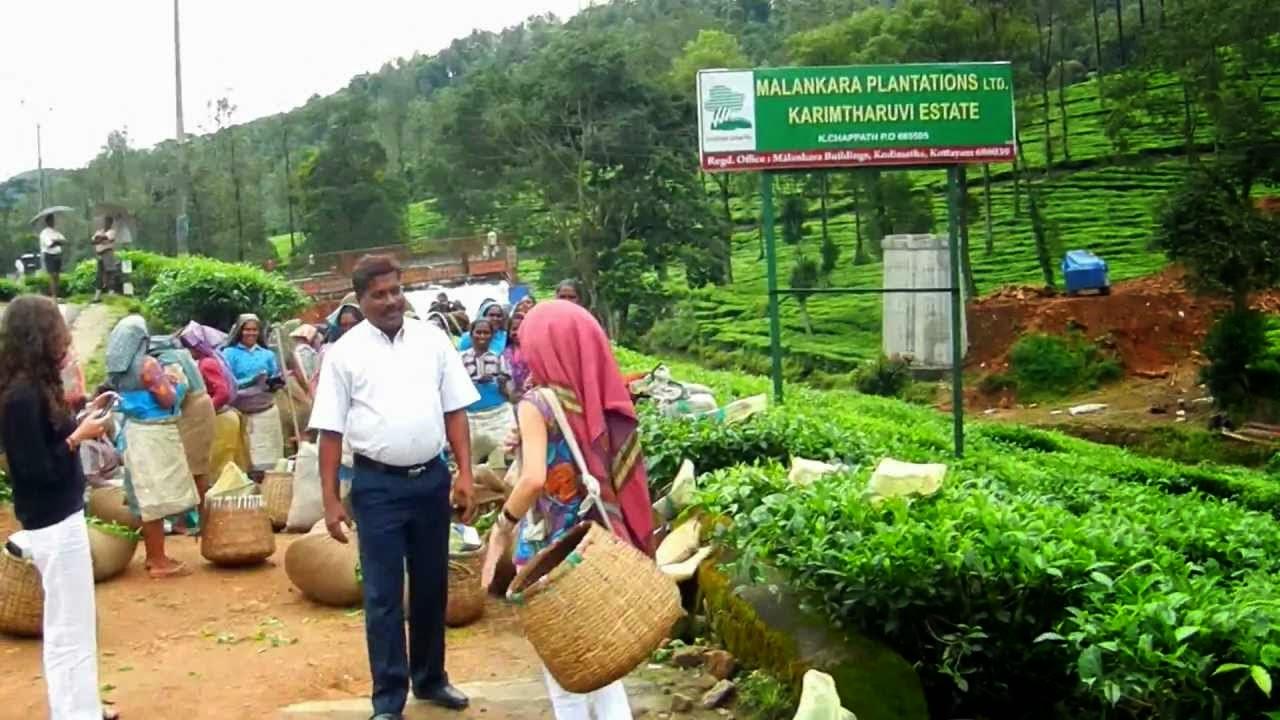 Kerala Tourism: Tea Harvest in Munnar Kerala