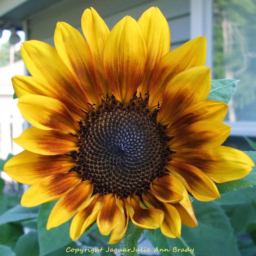First Autumn Beauty Sunflower Blossom Close-Up of 2014