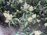 Laurel Sumac on Fish Canyon access trail in Vulcan Materials' Azusa Rock quarry