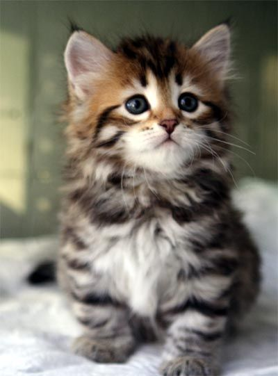 Amazing Maine Coon Kitten