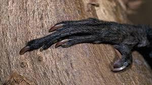 """www.fertilmente.com.br - Detalhe do dedo """"amaldiçoado"""" do aye aye, usado para caçar insetos"""