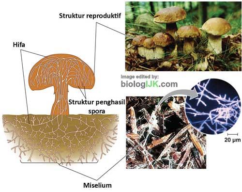 struktur tubuh jamur