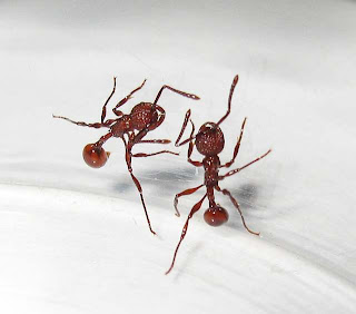 Pristomyrmex trachylissus workers